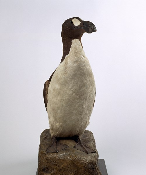 The Great Auk - a black and white bird standing with wings tucked in.